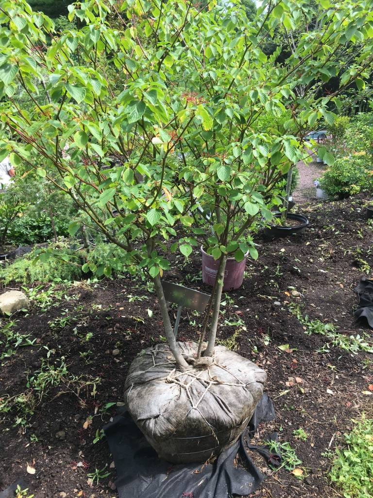 Cornus alternifolia Dogwood - Pagoda, 6' B&B