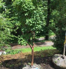 Acer griseum Maple - Paperbark, 2