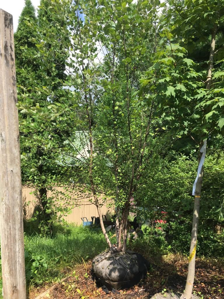 Betula nigra Heritage Birch - River, Heritage, 10-12