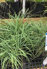 Carex flacca, Blue Green Sedge #1 container