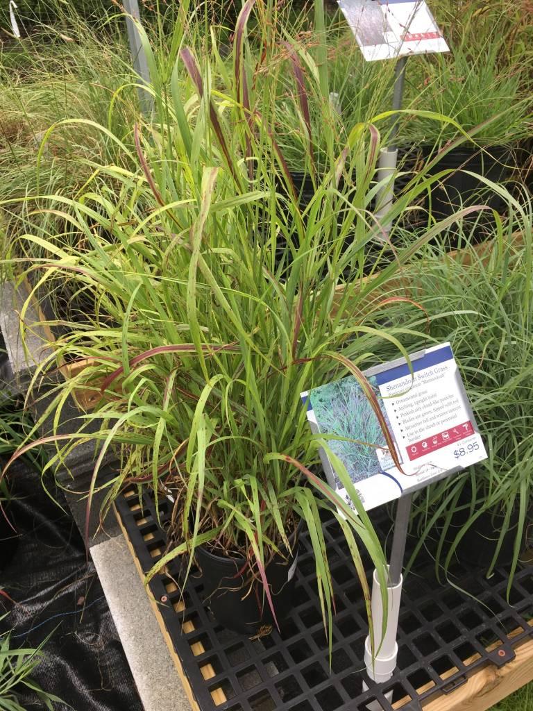Panicum virgatum Shenandoah Grass - Ornamental Switch, Shenandoah, #1