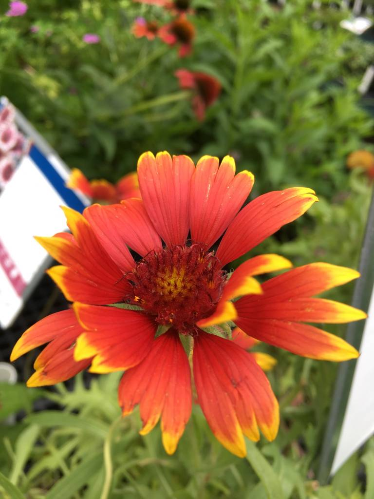 Gaillardia Goblin Blanket Flower, Goblin, #1