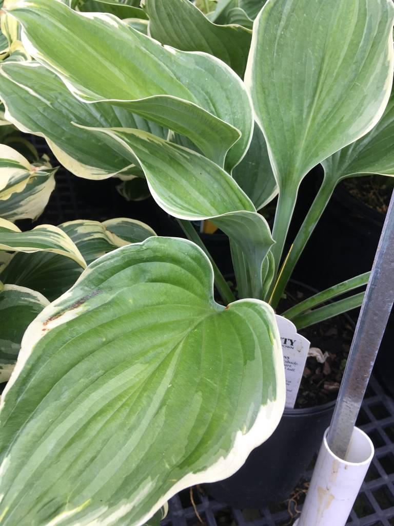 Hosta Sagae Plantain Lily, Sagae, #1