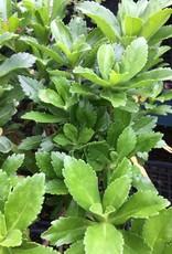 Nipponanthemum nipponicum Daisy - Montauk, #1