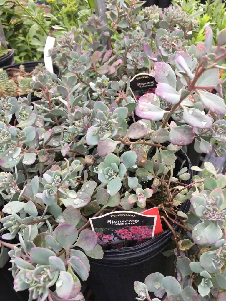 Sedum cauticola Lidakense Stonecrop, Lidakense, #1