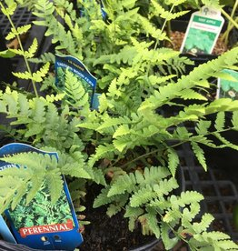 Dryopteris marginalis Fern - Wood, Eastern, #1