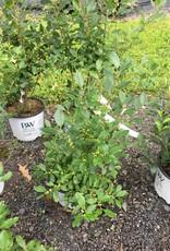Nativar Shrub Ilex vert. Little Goblin Holly - Winterberry, Little Goblin, #3