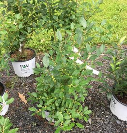 Nativar Shrub Ilex vert. Little Goblin Holly - Winterberry, Little Goblin, #3