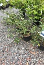 Viburnum pragense Viburnum - Willow-Leaf, #3