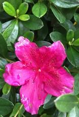 Azalea Girard's Fuchsia Azalea, Girard's Fuschia, #2