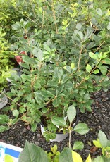 Nativar Shrub Ilex vert. FarrowMP Holly - Winterberry, Mr.Poppins, #3
