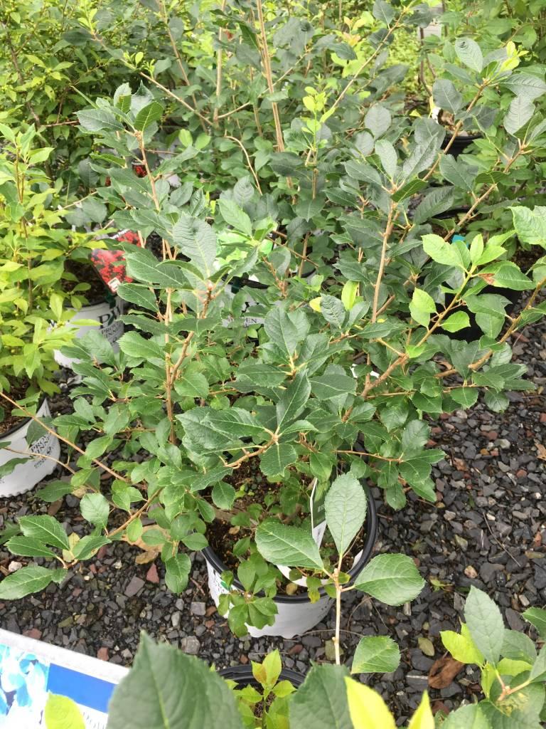Nativar Shrub Ilex vert. FarrowMP Holly - Winterberry, Mr.Poppins, #3