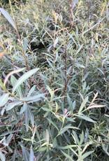 Salix pur. Nana Willow - Blue Artic, Dwarf; Purple Osier, #3