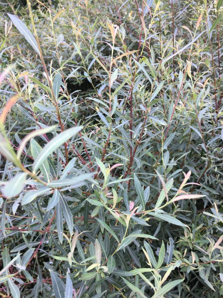Salix Pur Nana Willow Blue Artic Dwarf Purple Osier 3