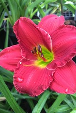 Hemerocallis Red Hot Returns Daylily, #1