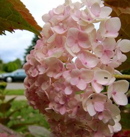 Hydrangea mac. Blushing Bride Hydrangea - Mophead, Endless Summer Blushing Bride, #3