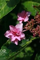 Hydrangea mac. Shamrock Hydrangea - Mophead, Shamrock, #5