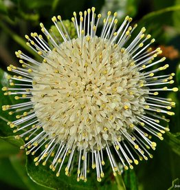 Native Shrub Cephalanthus occ.  Buttonbush, #3