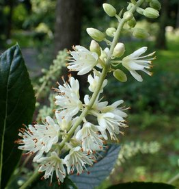 Nativar Shrub Clethra aln. Hummingbird Summersweet, Hummingbird, #3