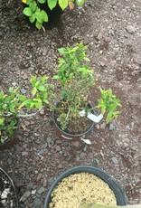 Vaccinium angustifolium, Lowbush Blueberry #1