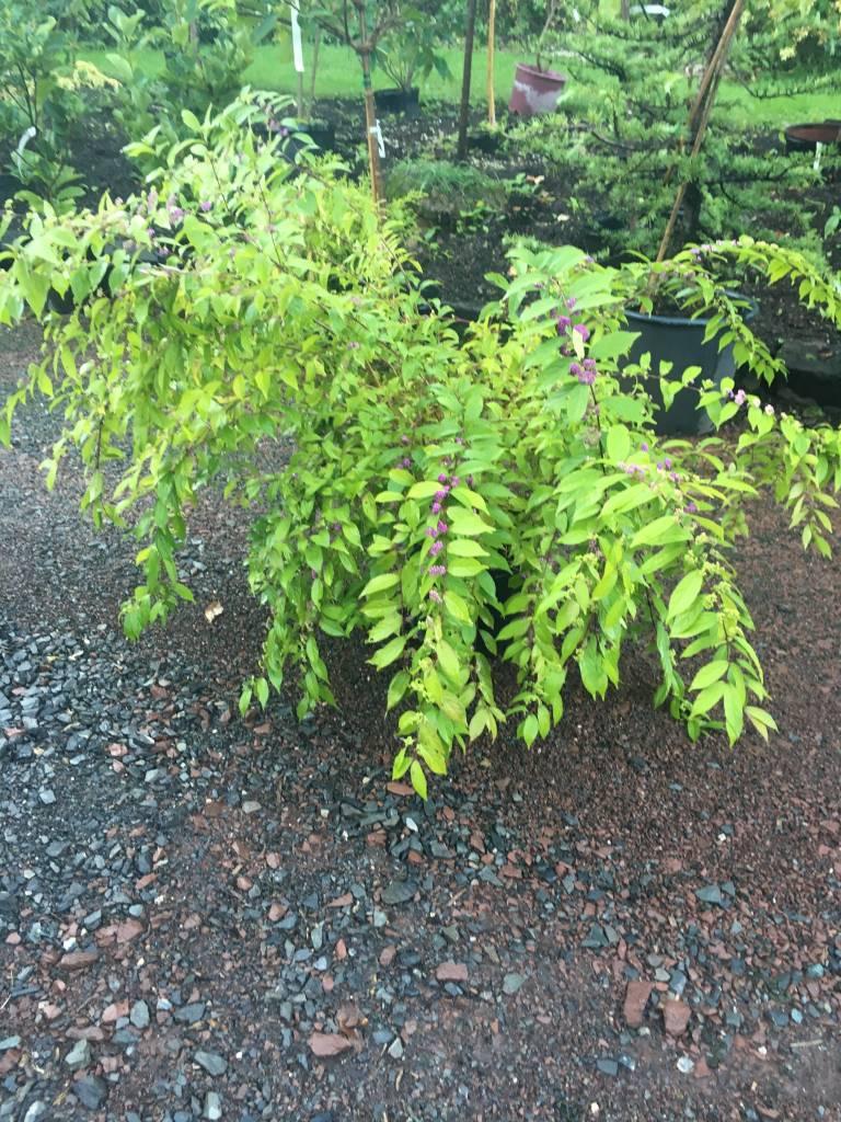 Callicarpa di. Early Amethyst Beautyberry, Early Amethyst, #3