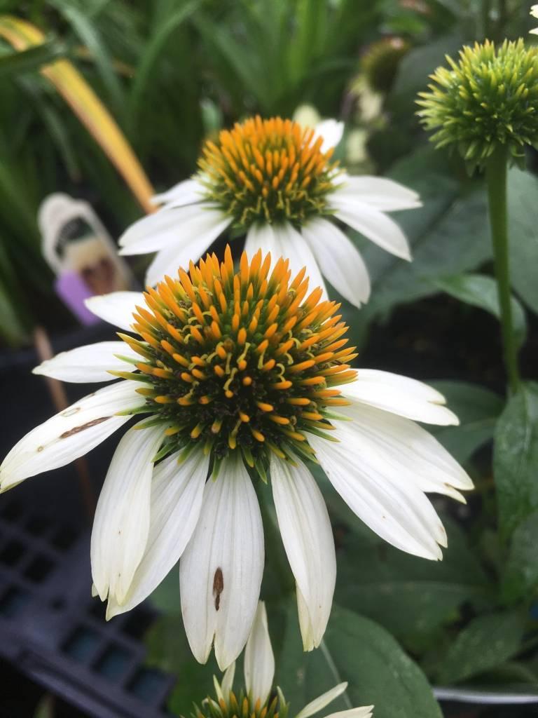 Echinacea pur. Pow Wow White Coneflower, Pow Wow White, #1