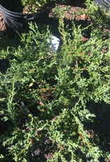 Juniperus chin. var. sargentii Juniper - Chinese, sargentii ground cover, #3