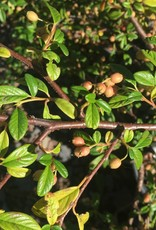 Cotoneaster sal. Scarlet Leader Cotoneaster, Willowleaf, #3
