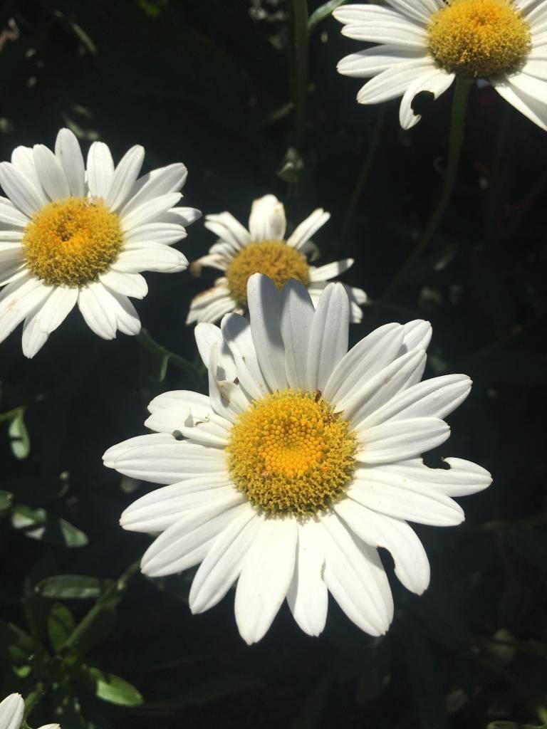 Leucanthemum Becky Daisy - Shasta, Becky, #1