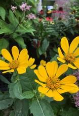 Helianthus divaricatus Sunflower, Woodland, #1