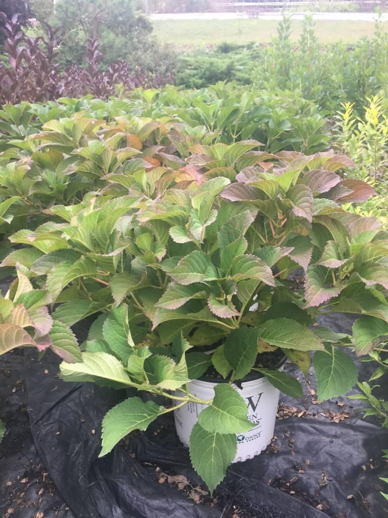 Hydrangea serrata MAK20 Hydrangea - Tuff Stuff, #3