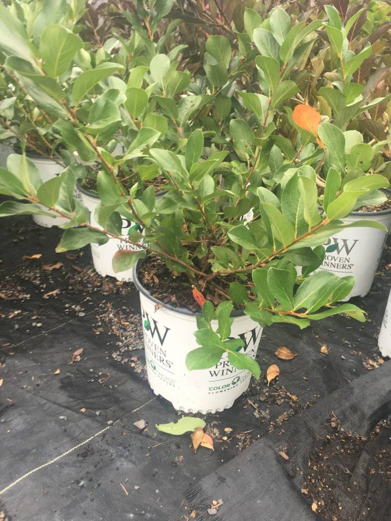 Nativar Shrub Aronia mel. Low Scape Mound Chokeberry, #3