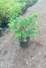 Native Shrub Viburnum dentatum Viburnum - Arrowwood, #3