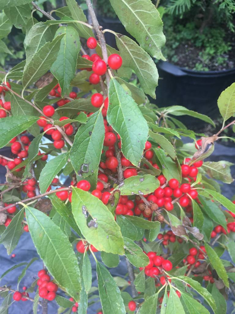 Nativar Shrub Ilex vert. FarrowBP Holly - Winterberry, Berry Poppins, #3