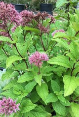Eupatorium d. Little Joe Joe Pye Weed, Little Joe, #1