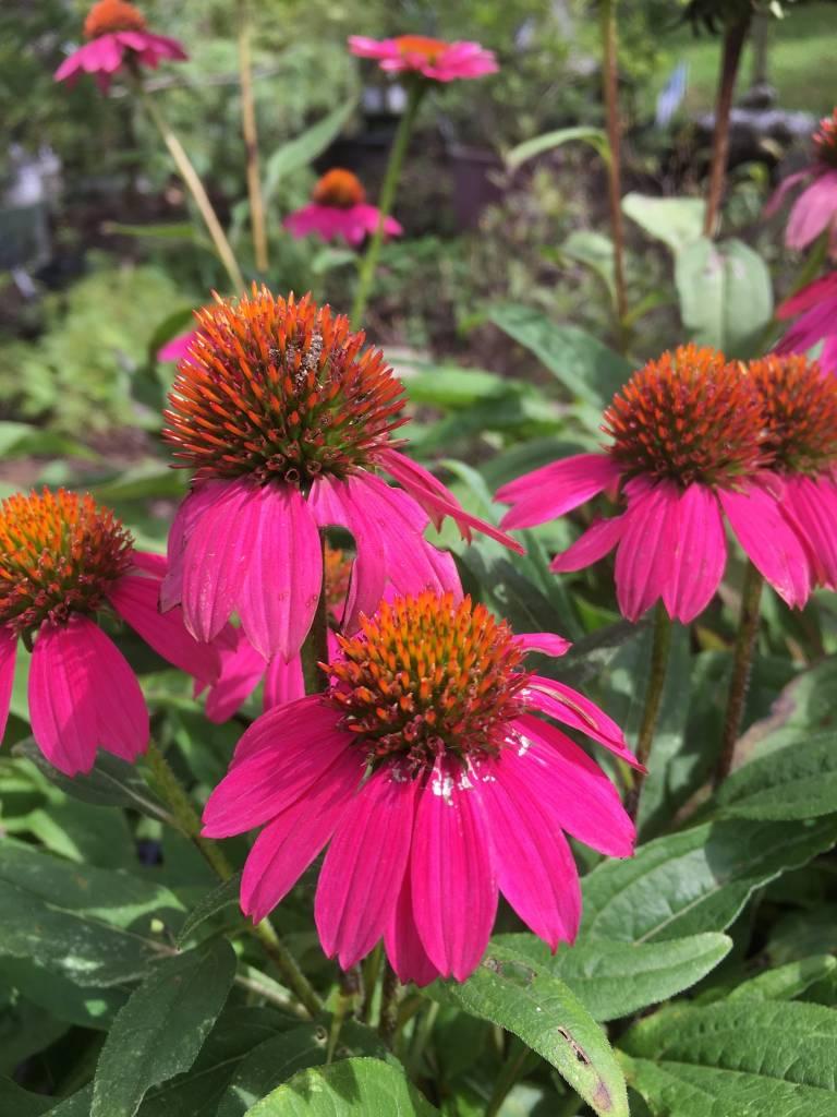 Echinacea pur. Pow Wow Wild Berry Coneflower, Pow Wow Wild Berry, #1