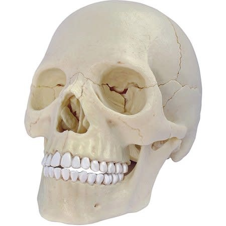 Human Anatomy Skull Model Skull by John Hansen