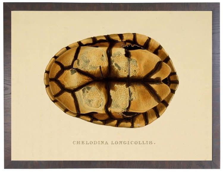 Turtle shell Cheldodina Plate in Shadowbox