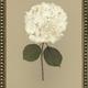 White Hydrangea II 20x24
