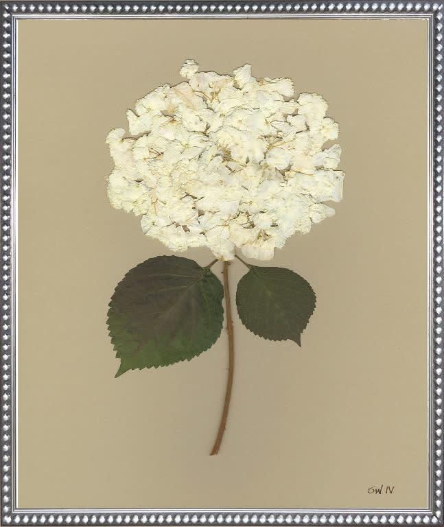 White Hydrangea IV 20x24 with Matting