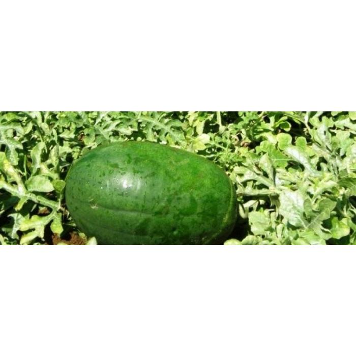 Melon d'eau Sweet siberian bio (25 semences)
