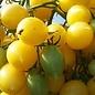 Tomate cerise Barry's crazy bio, 30 semences