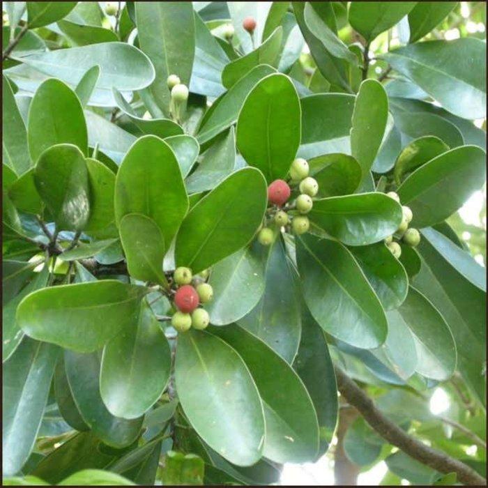 HE Saro (cinnamosma fragans feuille)  11 ml