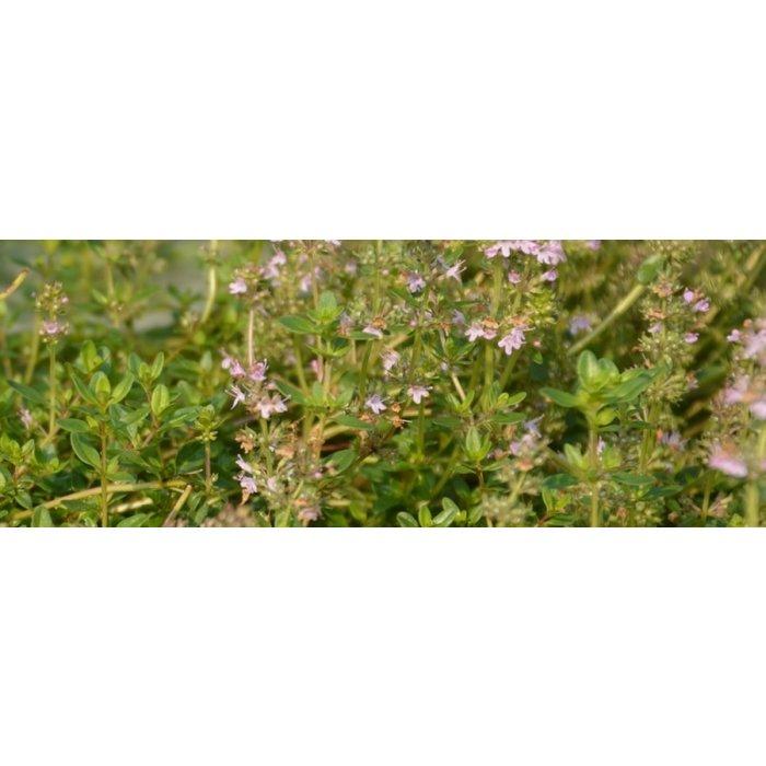 Thym Serpolet bio (250 semences)