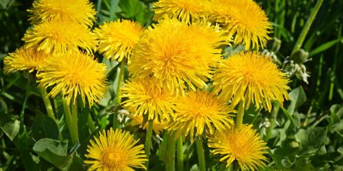 Bien accueillir le printemps avec les plantes médicinales