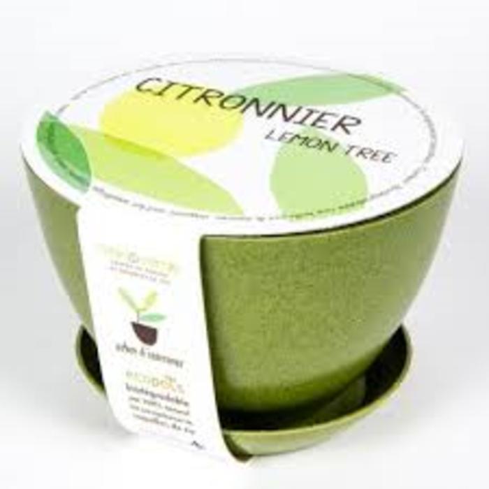 """Pot 7"""" Arbre intérieur - Citronnier"""