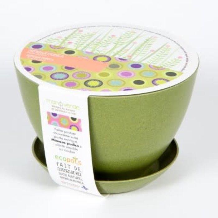 "Pot 7"" Arbre intérieur - Mimosa pudica"