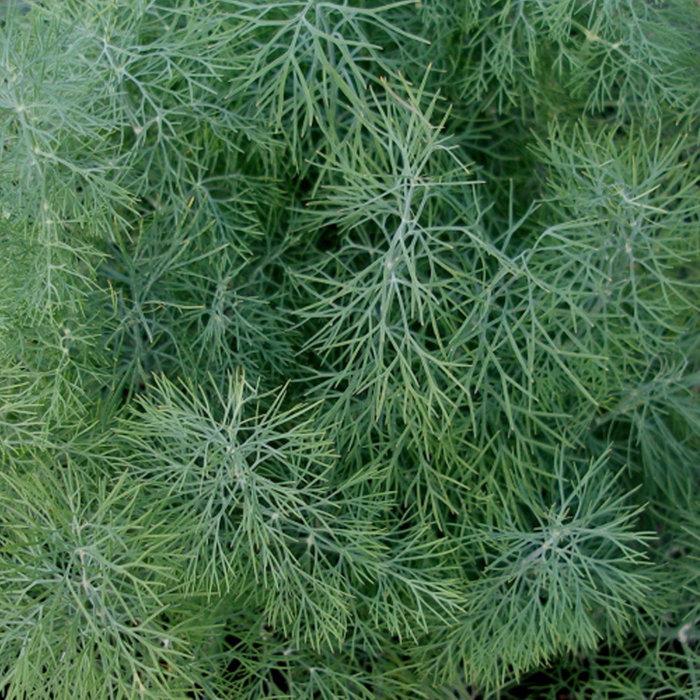 Aneth de jardin bio (400 semences)