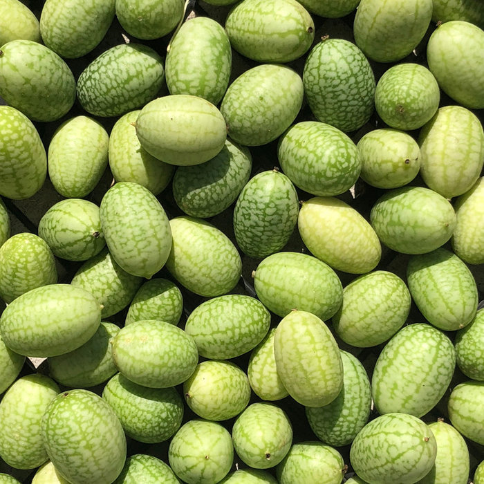 Concombre mexicain bio (40 semences)