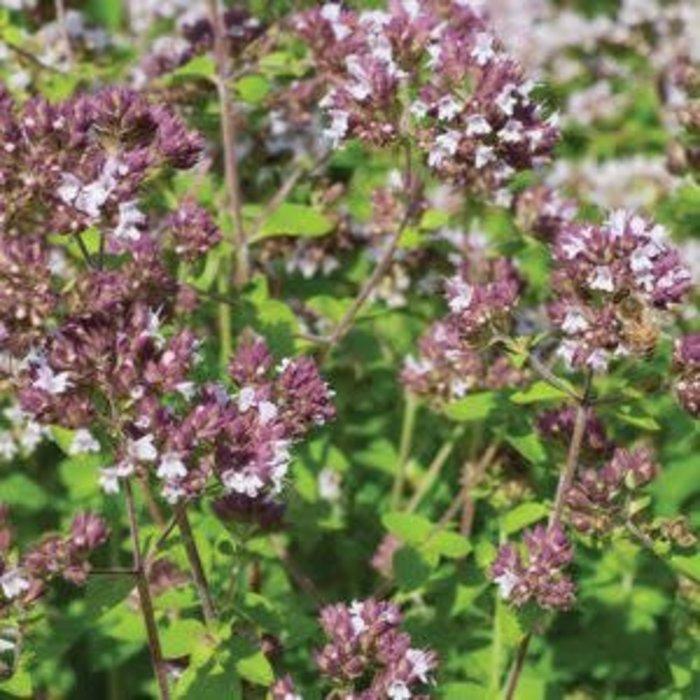 Origan commun bio (400 semences)
